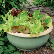 lettuce grows great in almost anything!