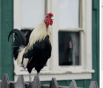 Scientists would like to figure out why roosters crow at dawn. (Don Kelsen /Los Angeles Times via latimes.com)